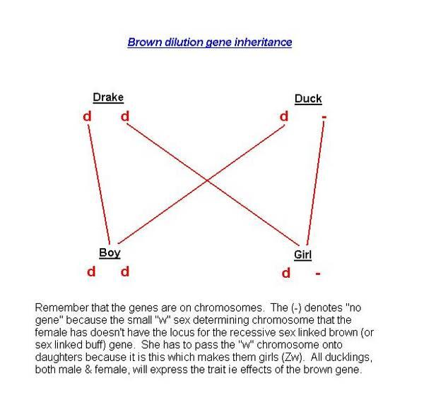 Brown_gene_inheritance_1_