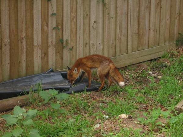Melborne Fox