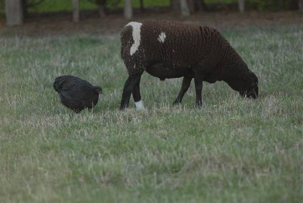 Black Orpington Hen