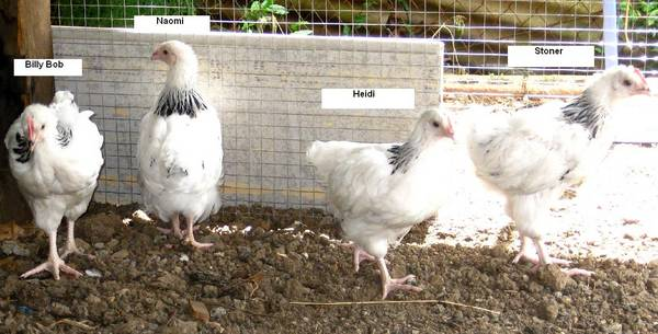 Chooks with names