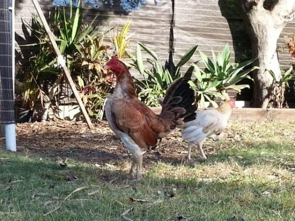 Clay_wheaten_cock_bird_2012