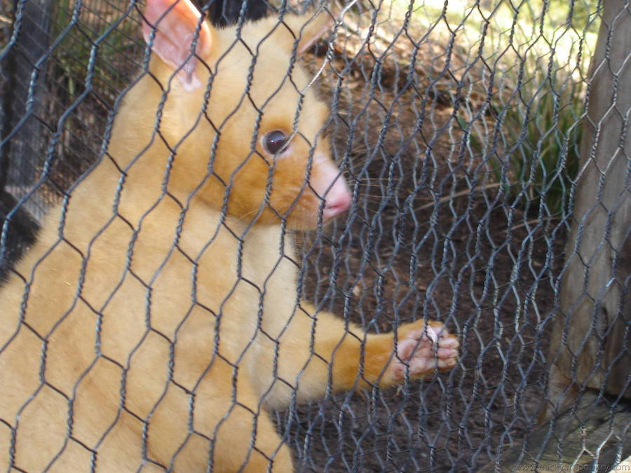 native animal that mix with chooks