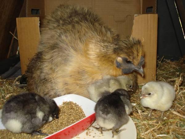 blue Australorp chicks