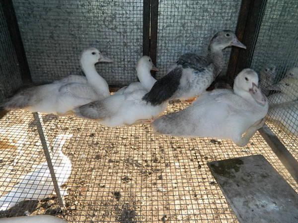 4 ducks white hatched 11.10.11