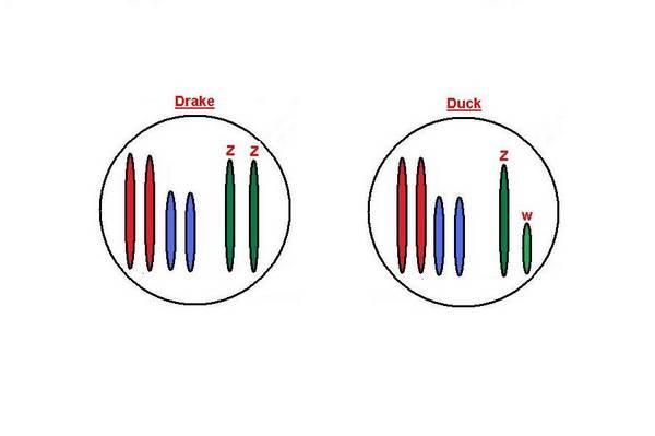 Drake_Duck_1_