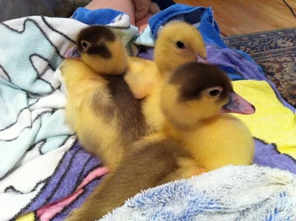 Ducklings_24
