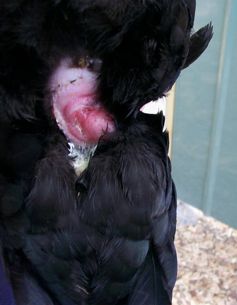 Prolapse 20 week old Australorp