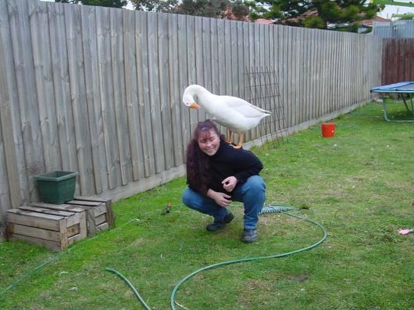 Friendly goose