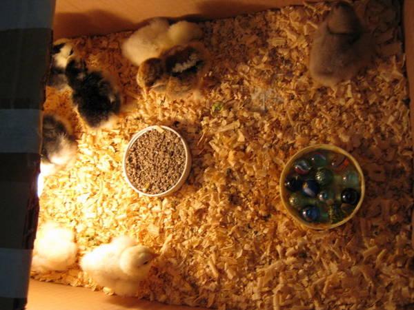 pekin chicks, albino,white,black mottled and a eb