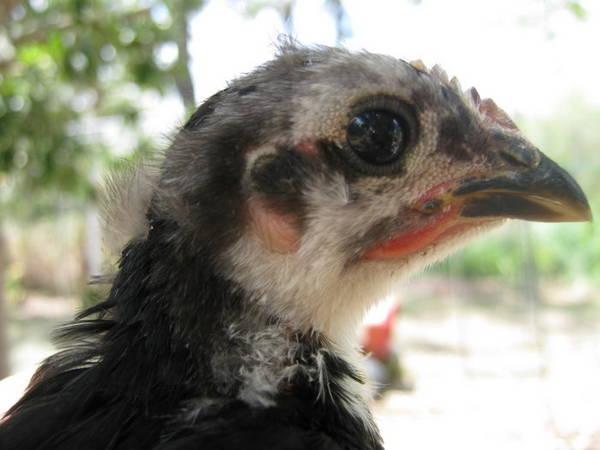 australorp chick 5