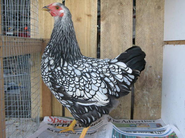 Silver laced wyandotte pullet