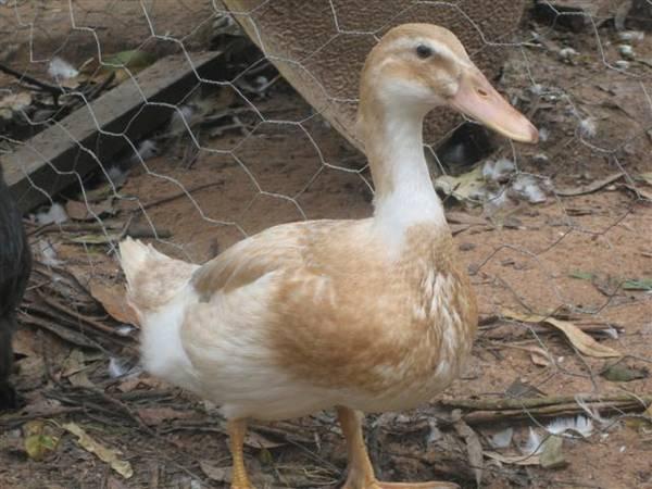 No 3 bantam saxony duck 2010 hatch