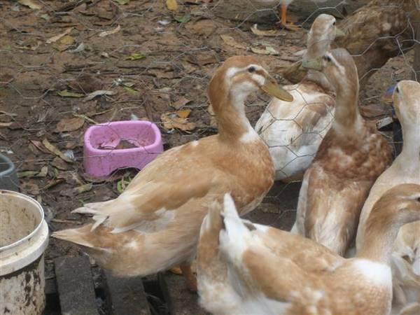 No 1 Bantam Saxony duck 2010 hatch