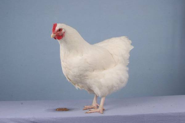 Ch Large White Orpington Pullet Poultry 2008
