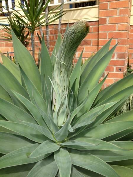 Century Plant(?) in flower
