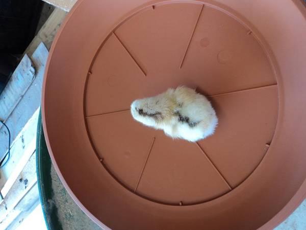 Interesting_chick2
