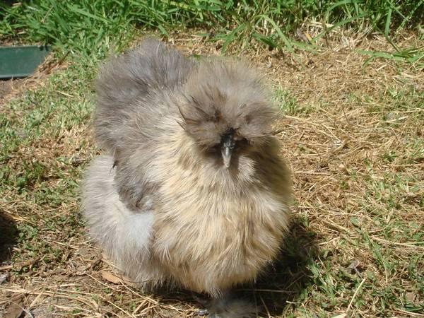 Kiwi for sale (silkie)
