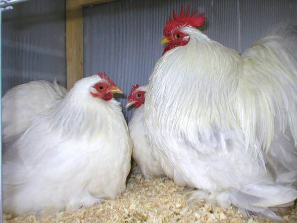 Coronation Pekin Breeding Trio