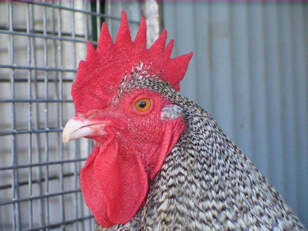Cuckoo Orpington