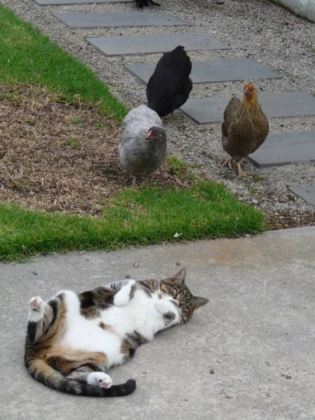 pullets staring down the cat ...