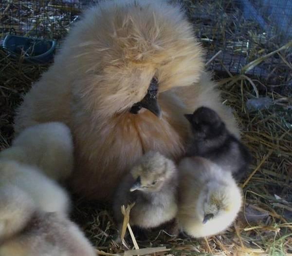 Diva Silkie Mum L/R roo Chicks