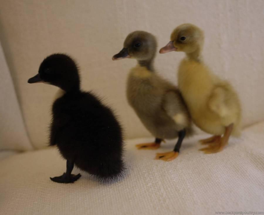 Swedish ducklings