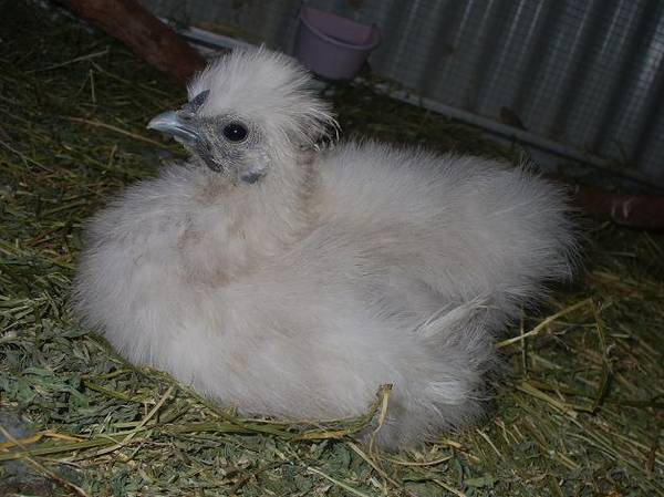 F2s Silkies to Lav Roo Hatch 3 Creamy Brown Tint