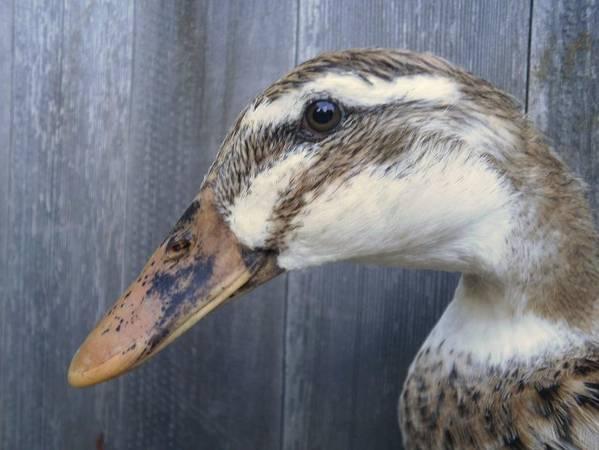 Young Appleyard Duck 2