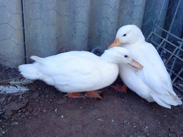 Call Duck Pair