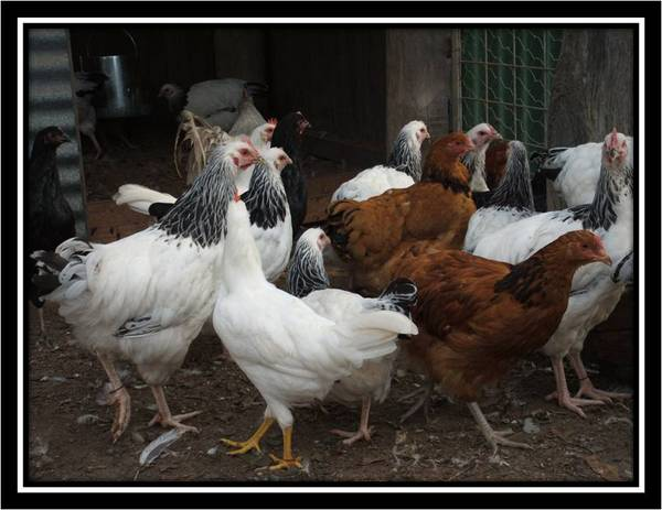 2009 chickens