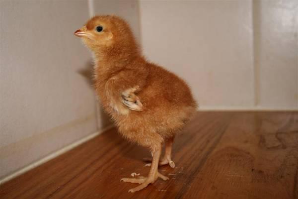 Chicky Babe 2