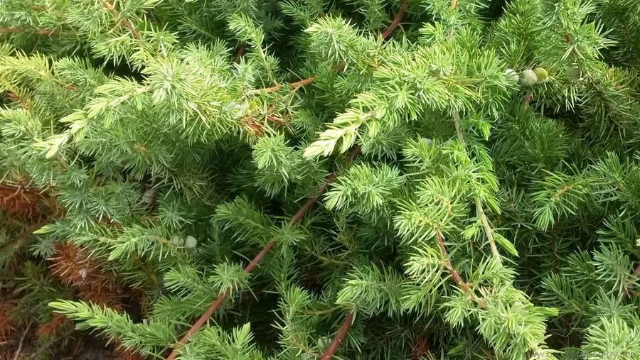 Prostrate Conifer