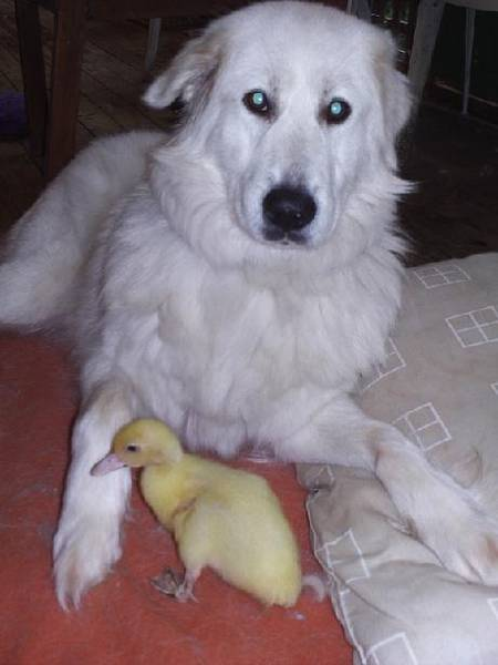 Rosie_and_duckling
