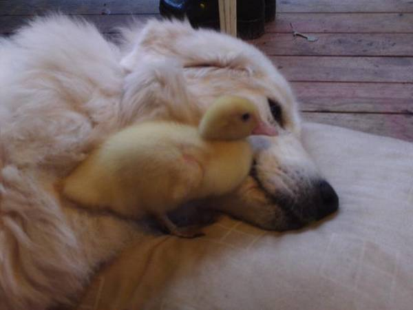 Rosie_and_duckling3