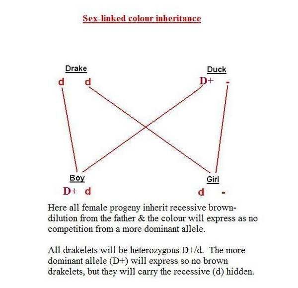 Sex-linked_colour_inheritance_1_