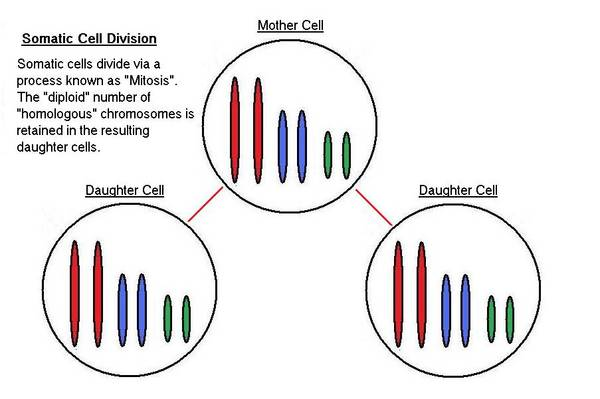 Somatic_Cell_Division_1_