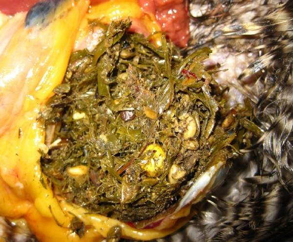 Stomach contents - up close