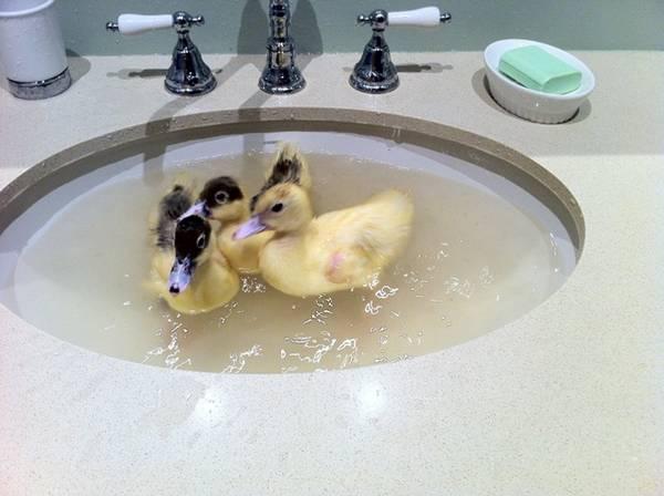 Swimming_Duckings_3