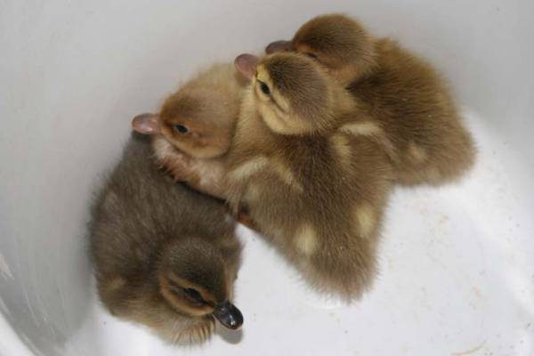 Call Ducklings