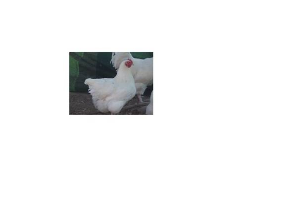 White_Pullet_2nd_Royal_melb_2008_c