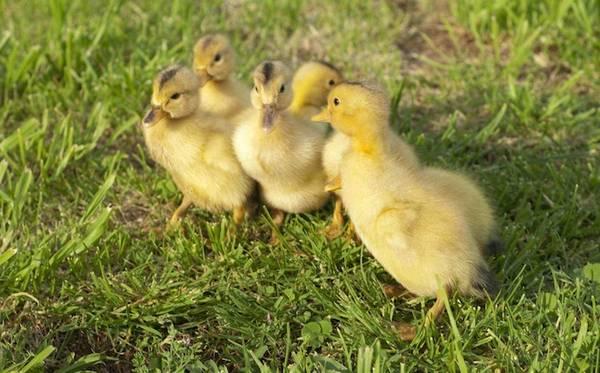 My appleyard ducklings