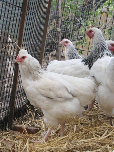 chicken42