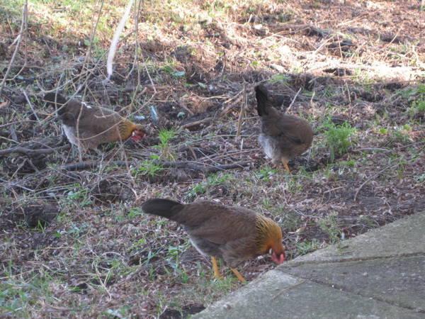 Brown Leghorn Pullets