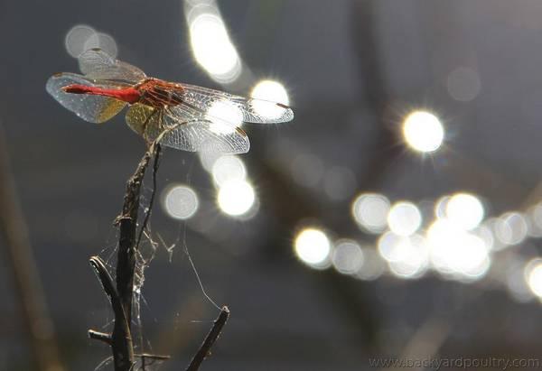dragonfly bohek