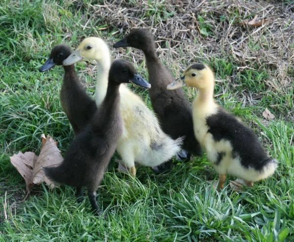 ducklings18