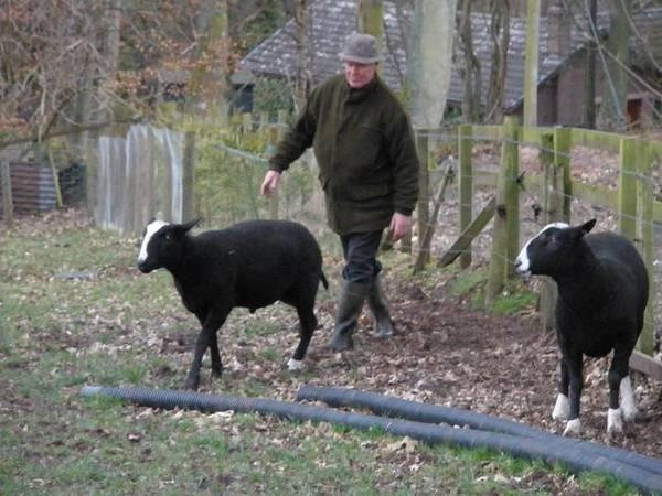 dutch sheep in scotland