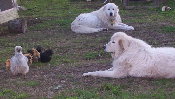 keeping a closer eye on mum & chicks today