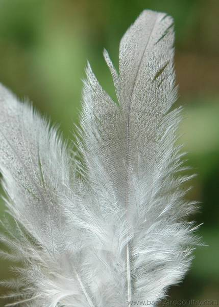 full feather
