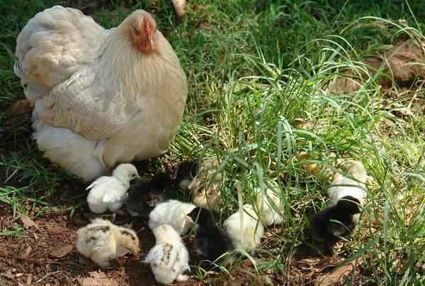 lavender partridge pekin and