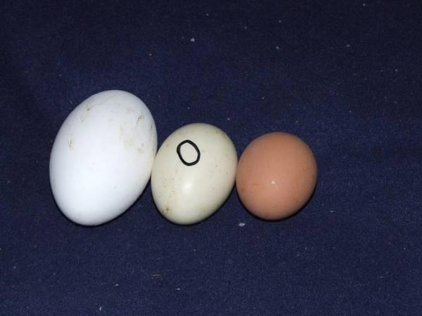 Pelican egg, duck egg and a chook egg